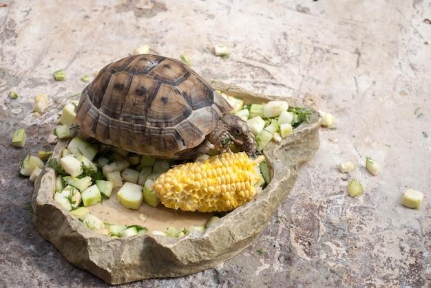 La tortue d'asie centrale seule mange des légumes sur une pierre