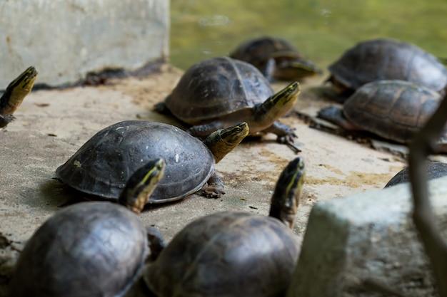Tortue dans l'étang des tortues