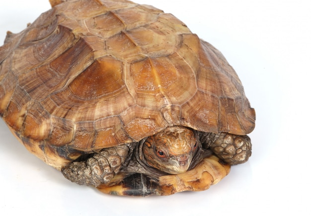 Tortue dans sa coquille
