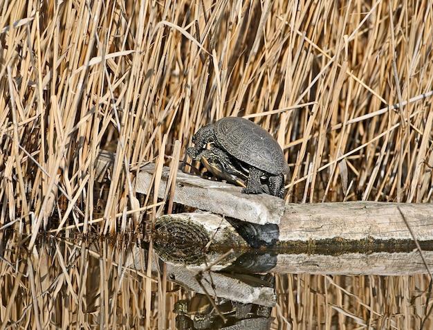 La tortue de l'étang européenne (emys orbicularis) sont accouplées sur une bûche dans l'eau