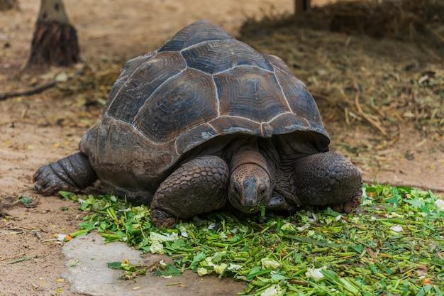 Une tortue géante d'aldabra (aldabrachelys gigantea) en train de manger des feuilles vertes