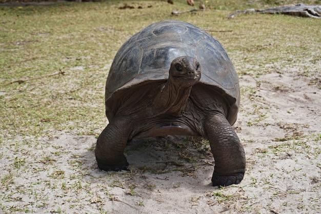 Tortue géante d'aldabra sur une île aux seychelles.