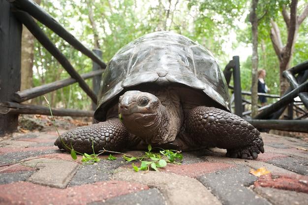 Tortue géante d'aldabra de la zone de conservation de zanzibar