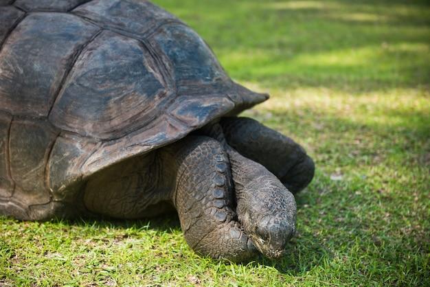 Tortue géante des seychelles d'aldabran