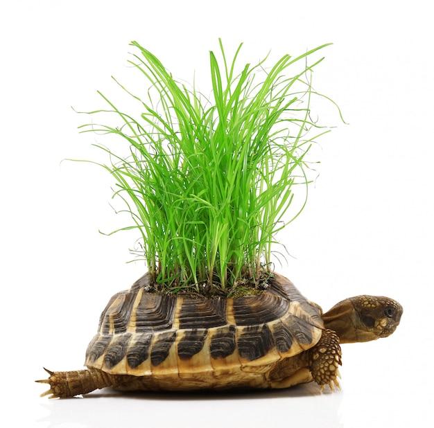 Tortue avec de l'herbe dans le dos