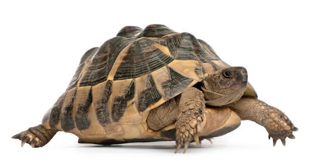La tortue d'hermann testudo hermanni marchant devant un fond blanc