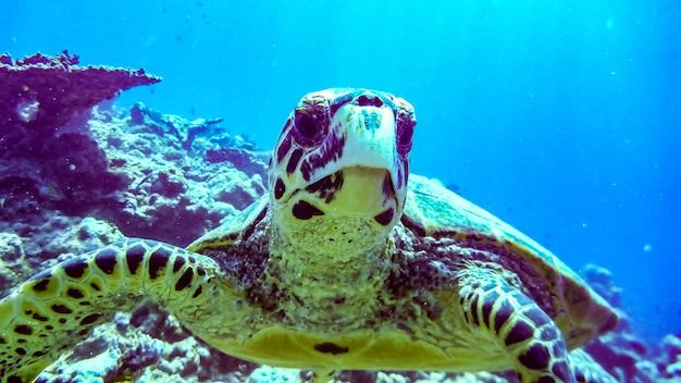 Tortue imbriquée dans le lagon bleu de l'océan indien, maldives.