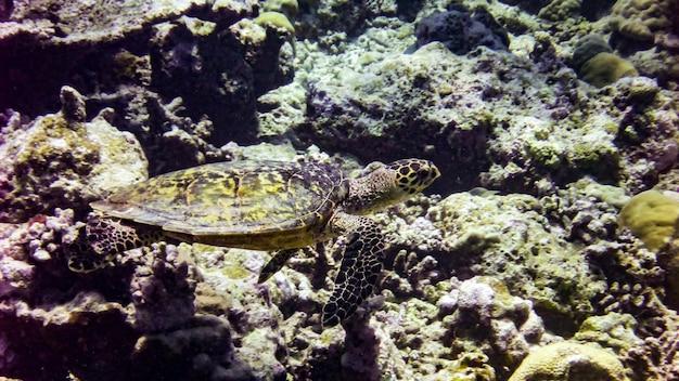 Tortue imbriquée dans l'océan indien - maldives.