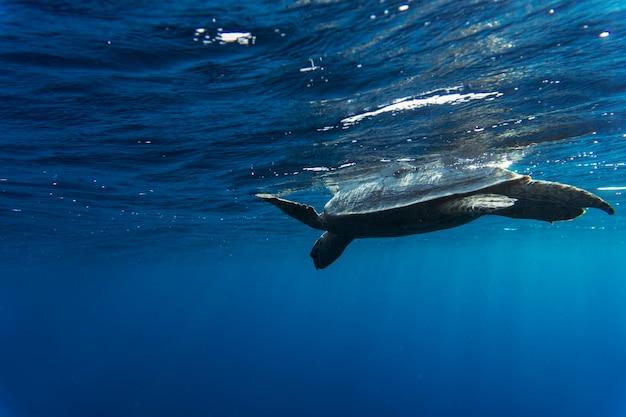 Tortue imbriquée eretmochelys imbricata nageant dans la mer