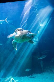 Tortue de mer nageant dans l'aquarium