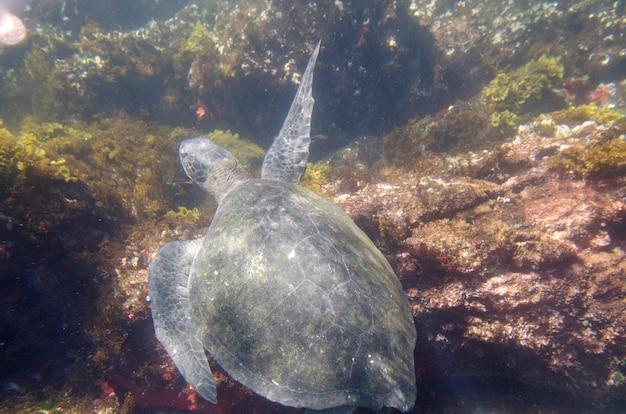 Tortue de mer nageant sous l'eau, tagus cove, île isabela, îles galapagos, équateur