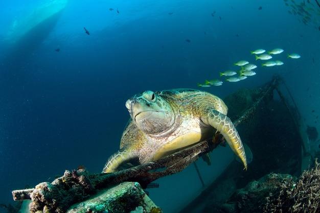 Tortue de mer reposant près du centre de plongée à mabul, sipadan, malaisie