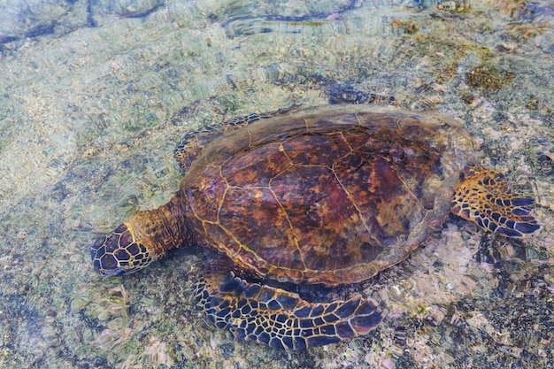 Tortue de mer verte hawaïenne sur la plage, hawaii