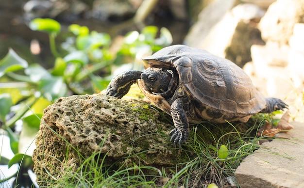 La tortue sur la pierre a rampé hors du panzer. le monde animal