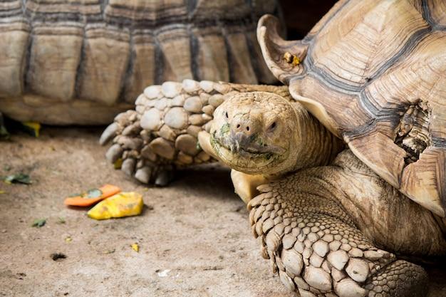 La tortue sulcata est dans la nature.