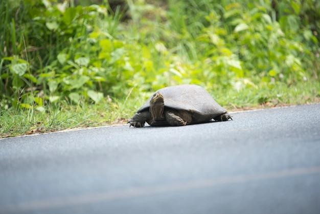 Tortue terre, marche, sur, route asphaltée, dans, khao, yai, parc national, thaïlande