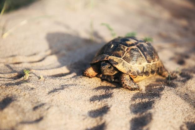 La tortue va lentement dans le sable avec sa coquille protectrice
