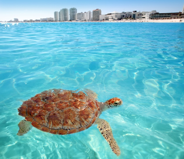 Tortue verte surface de la mer des caraïbes cancun