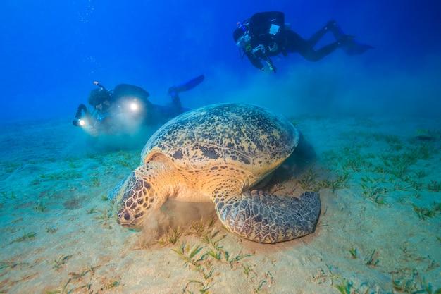 Tortues étonnantes d'abu dabbab mer rouge egypte