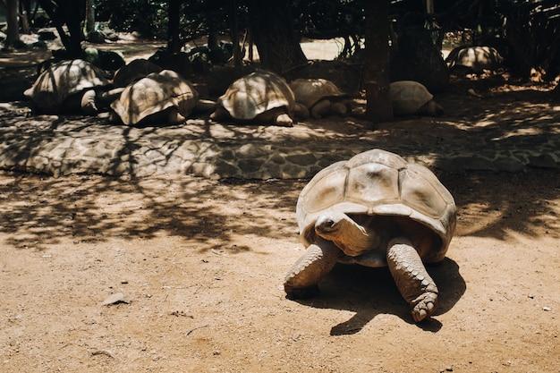 Tortues géantes dipsochelys gigantea dans un parc tropical sur l'île maurice dans l'océan indien.