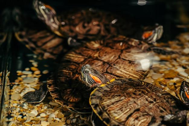 Les tortues nagent dans l'aquarium