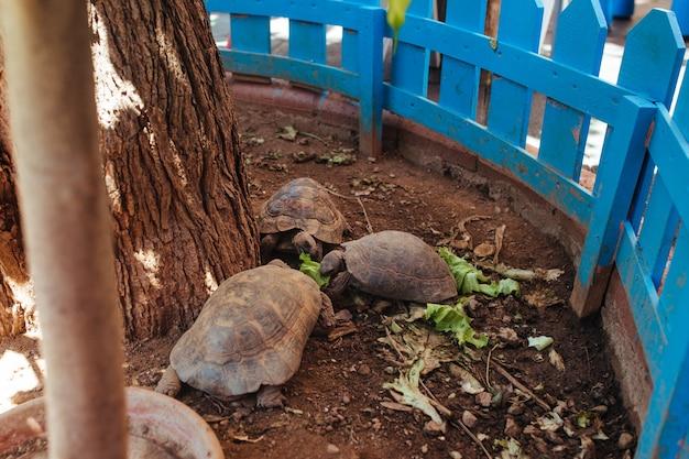 Les tortues terrestres rampent dans le parterre de fleurs et mangent de la laitue