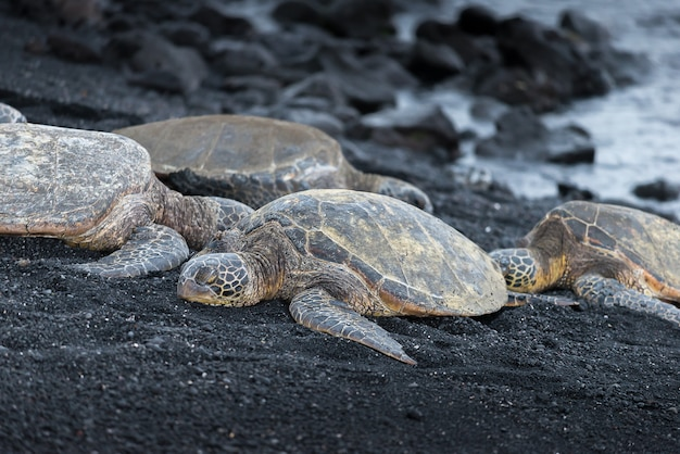 Tortues vertes sur la plage de sable noir à hawaii