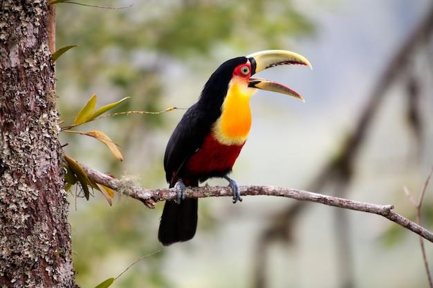 Toucan à bec vert avec bec ouvert - toucan à poitrine rouge