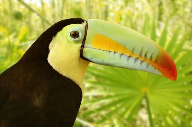 Toucan kee a facturé la jungle de tamphastos sulfuratus
