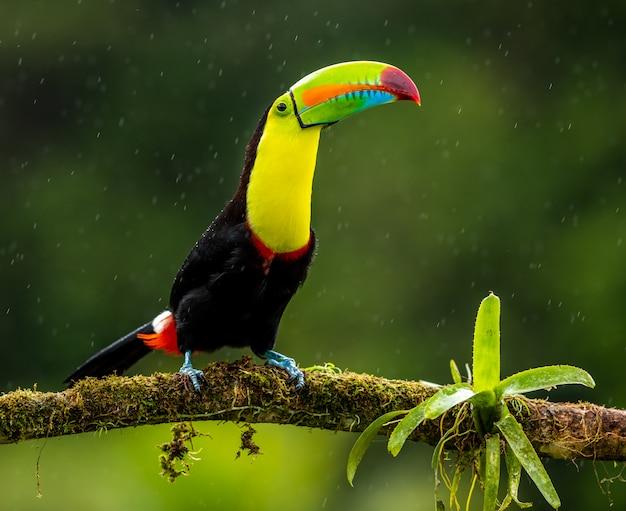 Toucan sous la pluie