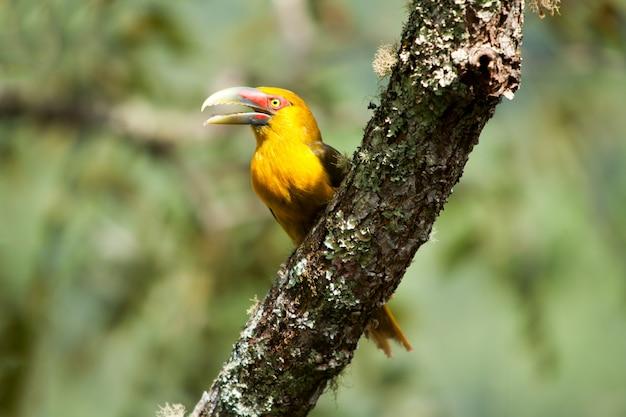 Toucanet au safran avec bec ouvert - toucans