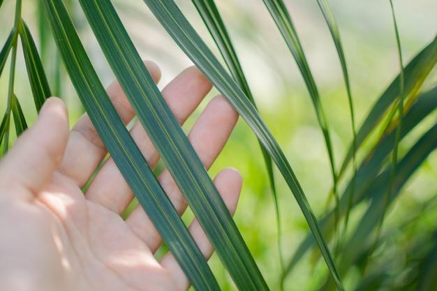 Touchez la feuille de palmier vert.