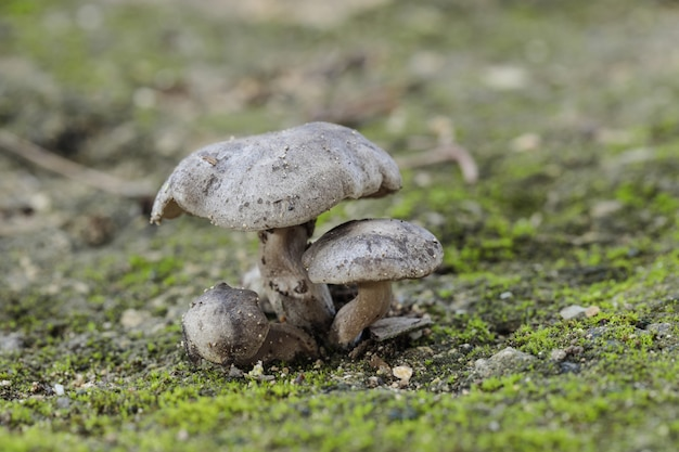 Touffe de trois champignons lyophyllum littorina