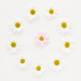 Tour des boutons de fleurs de marguerite