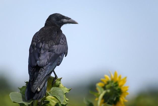 Tour (corvus frugilegus) assis sur des tournesols
