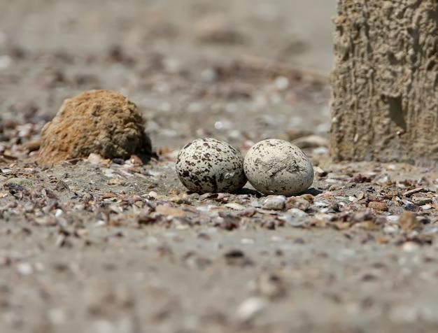 Les tourbillons de courlis en pierre dans l'habitat naturel sur le nid.