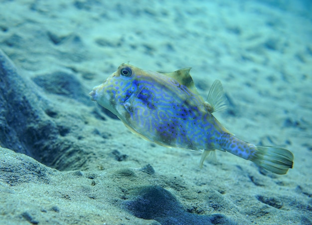 Tourelle à bosse poisson tourelle épineux tetrosomus gibbosus
