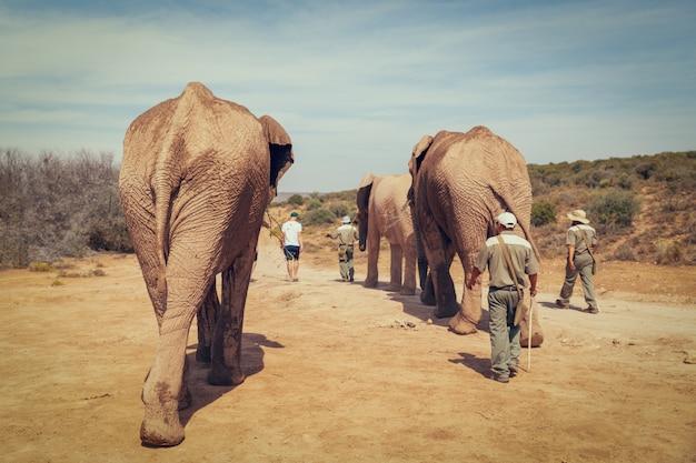 Les touristes marchant avec les éléphants d'afrique et les rangers dans la réserve de chasse en afrique du sud