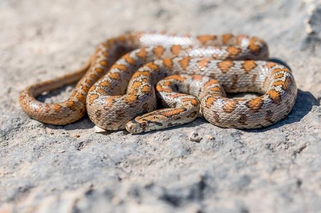Tourné d'un serpent léopard adultes recroquevillé ou serpent ratier européen, zamenis situla, à malte