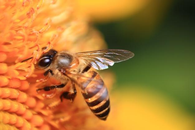 Tournesol et abeille
