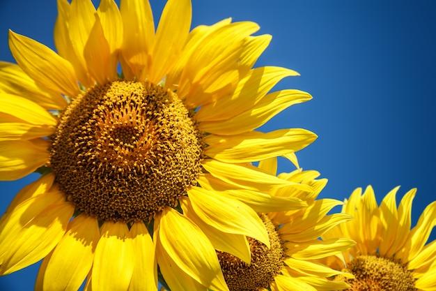 Tournesol brut en fleurs sur le champ sur le ciel bleu