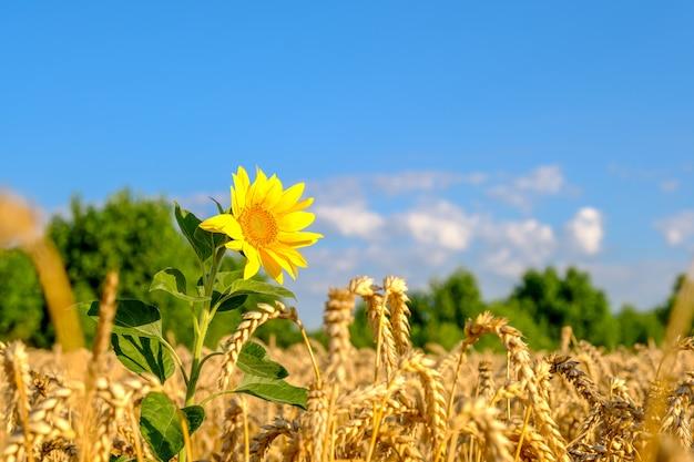 Tournesol dans un champ de blé de couleur or mûr
