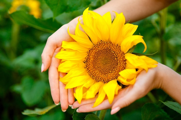 Tournesol dans les mains des femmes sur fond de champ de tournesols