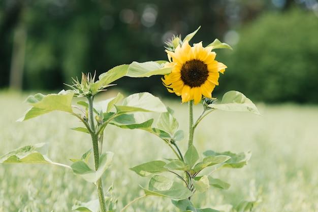 Le tournesol décoratif pousse en été par une journée ensoleillée