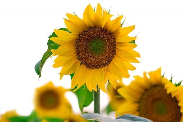 Tournesol en fleurs sur un fond blanc, gros plan