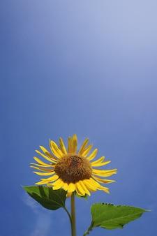 Tournesol avec fond de ciel bleu clair