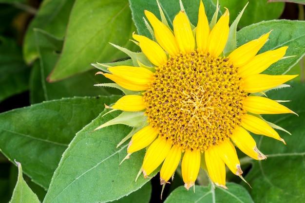 Tournesol gros jaune dans le jardin