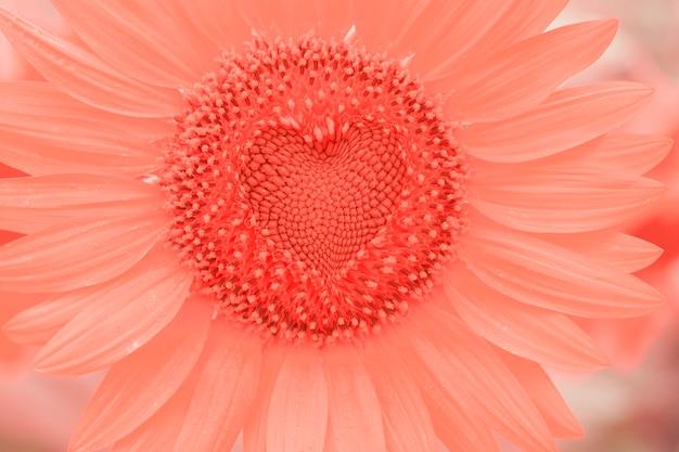 Tournesol gros plan au milieu avec une couleur corail coeur