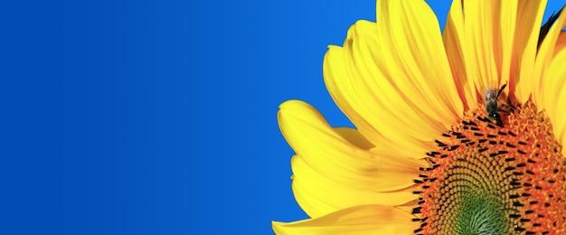 Tournesol jaune frais close up sur fond bleu