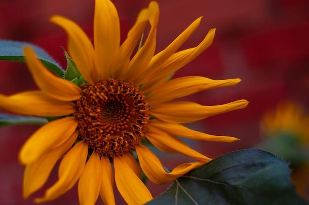 Tournesol lumineux au coucher du soleil. beau fond floral.